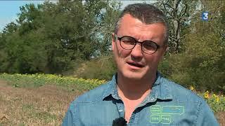 Le datura, herbe du diable, menace le tournesol et les abeilles du Gers