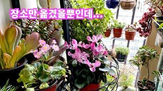 공기정화식물 키우기시클라멘 향베고니아  공작선인장 앵초…