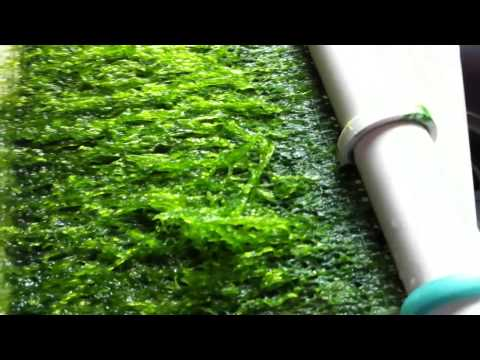 LED Algae Scrubber Day by Day on Salt Water Reef