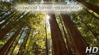"""Redwood Forest Rejuvenation"" NEW 1-Hour Nature Experience Video HD 1080p"