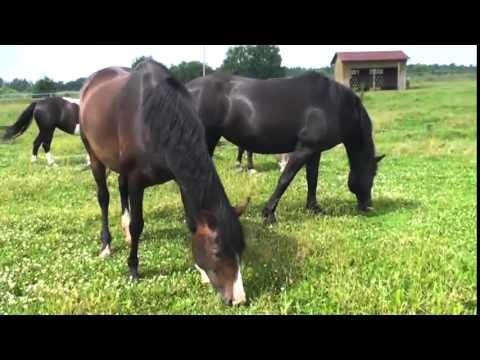 Лошади на лугу   Лошади пасутся на лугу   Лошади кушают ...