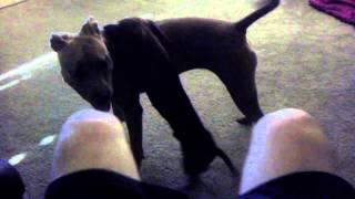 Pit Bull And Mini Dachshund Playing