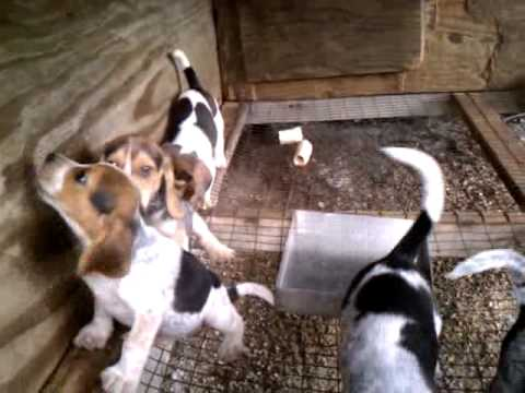Blue Tick Beagle Puppies Youtube