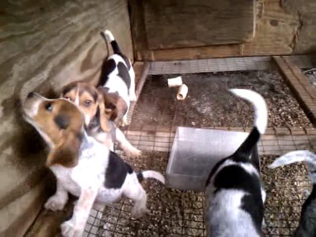 Blue Tick Beagle Puppies Beagle Planet