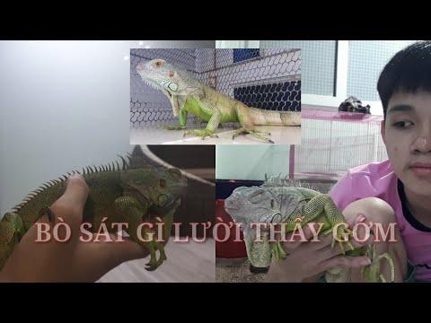 Đập Hộp Rồng Nam Mỹ Iguana ( Ngủ Kêu Không Dậy )