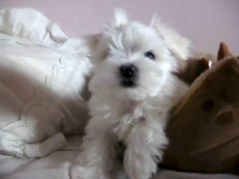 maltese barking cute maltese puppy barking at the camera and playing 7976