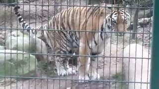 tygrys w intymnej sytuacji | tiger private