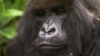 Silverback Showing off to the Female | Mountain Gorilla | BBC Earth