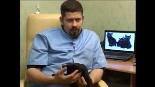 Черные коты породы Бомбей из питомника WTS, заводчик Андрей Быченко