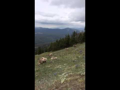 Bighorn sheep at Mt. Washburn Yellowstone National Park