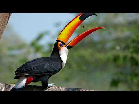 Описание жизнедеятельности птицы тукан, имеющей большой клюв