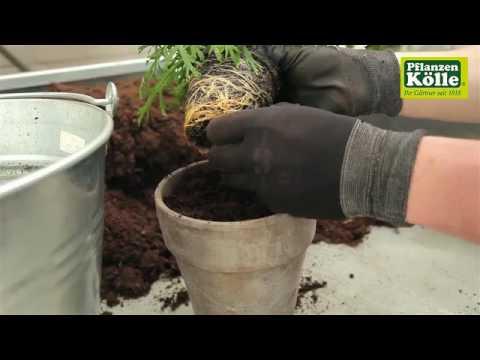 Margeriten Einpflanzen In Ein Gefass I Pflanzen Kolle Youtube