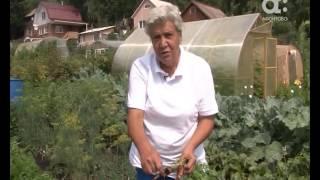 Голова садовая. Уход за морковью в августе(, 2016-08-06T06:24:26.000Z)
