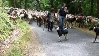 Transhumance cévenole, départ du troupeau de Francis Couderc