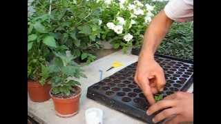 Repeat youtube video BUTĂȘIREA FLORILOR- Producător flori de grădină si de balcon- www.florighiveci.ro