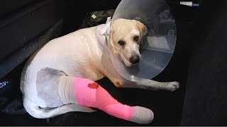 LABRADOR GETS ACL SURGERY!!