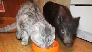 мини пиг с котом едят. Домашняя свинья живёт дома. Как заводят свиней.