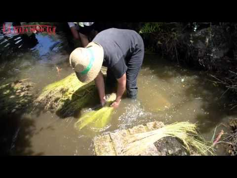Cultivo do linho em Moreira
