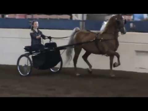 2016 Aug 19 Illinois State Fair 2nd Session Class 203 (Ellie) Spfld, IL
