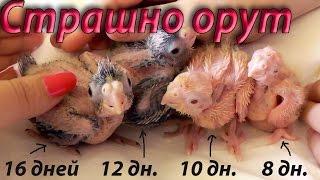 Когда можно брать на руки птенцов попугаев Когда трогать  Страшно орут