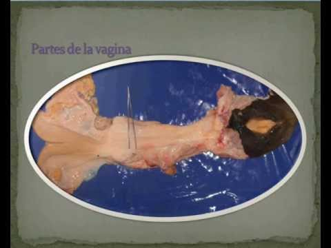 APARATO REPRODUCTOR FEMENINO FISIOLOGIA - YouTube