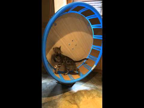 Thumbnail for Cat Video Cat Exercise Wheel For Under $100