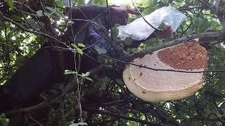 catch honey bees/bắt tổ ong cực kỳ thấp