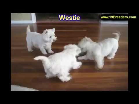West Highland White Terrier, Westie, Puppies, Dogs, For Sale, In Chicago, Illinois, IL, 19Breeders