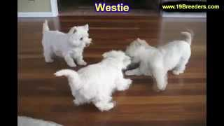 West Highland Terrier, Puppies, For, Sale, In, Mobile, County, Alabama, Al, Huntsville, Morgan, Calh