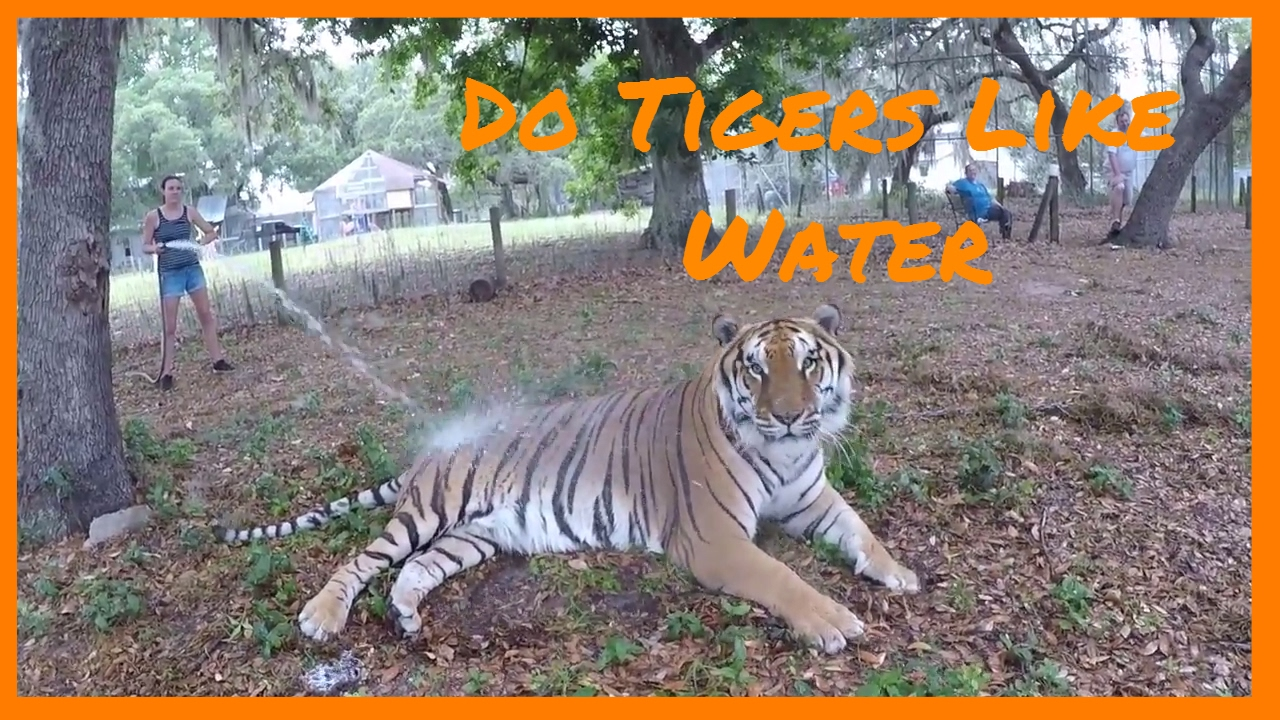Tiger Facts For Kids Zoobro Introduce Rambo The Handsome Bengal Tiger Youtube
