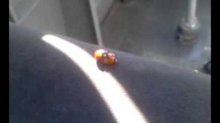 Ladybug Sex Insect Incest!!!