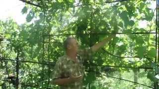 видео Виноград Саперави Северный