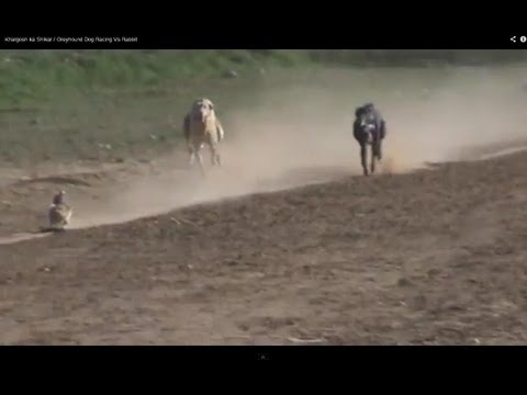 Khargosh ka Shikar / Greyhound Dog Racing Vs Rbit
