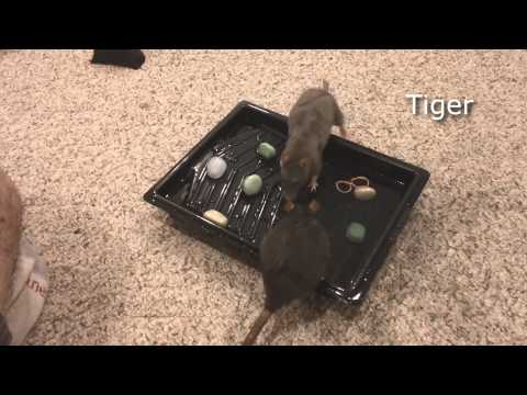 Rats Learning to Play in Water #1