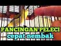 Pancingan Pleci Agar Buka Paruh Dan Cepat Nembak  Mp3 - Mp4 Download