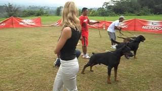Dobermann - Boxer- Rottweiler Specialty Show In Rancamaya (indonesia)
