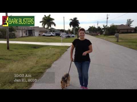 Australian Terrier  Dog Training of Fort Myers K9 Patrick Logue