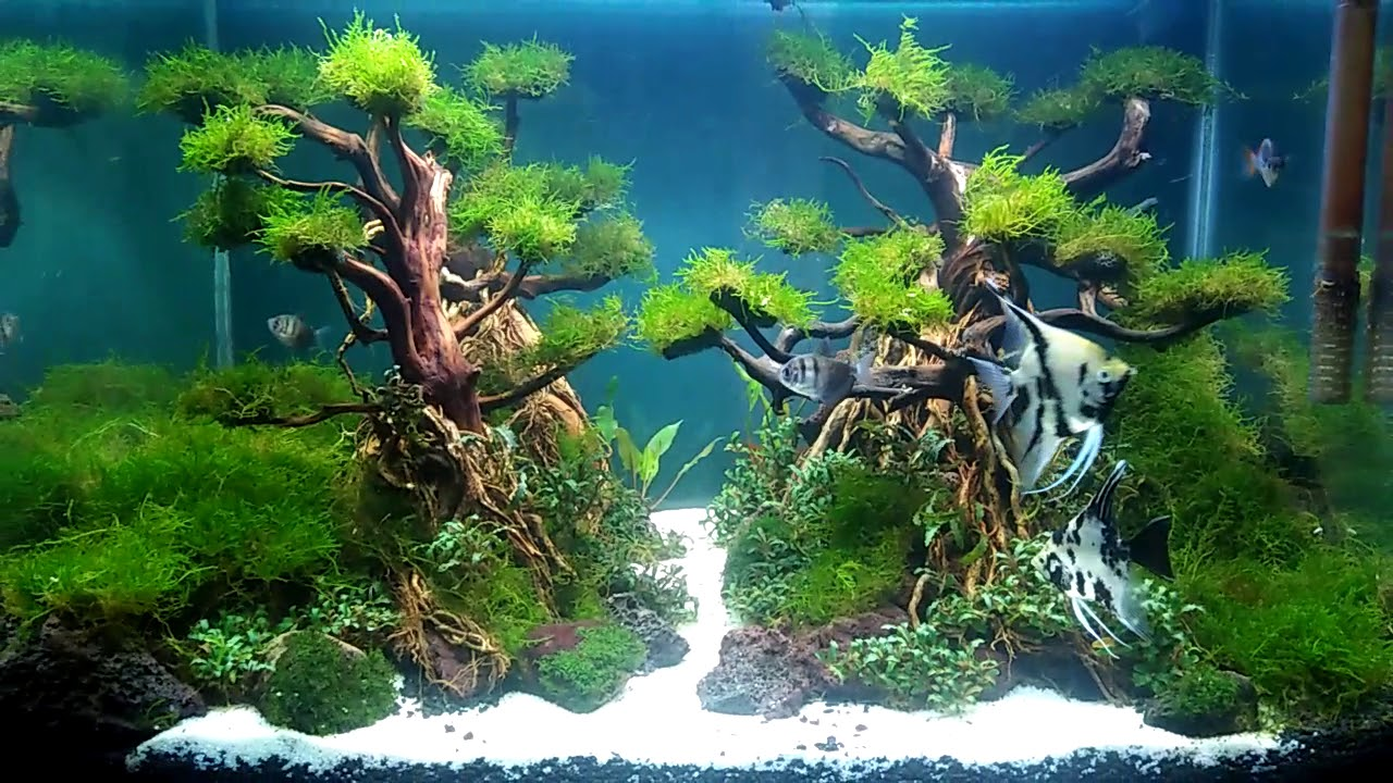 Aquascape bonsai rasamala - YouTube