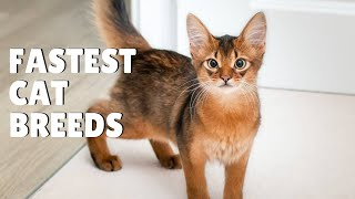 The Fastest and Most Athletic Cat Breeds on the Planet