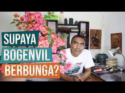 Cara Membuat Bonsai Kembang Kertas (Bougainvillea Spectabilis) Berbunga