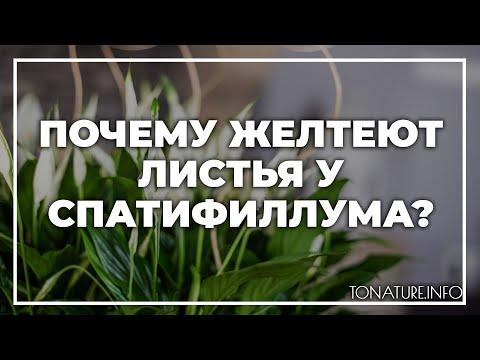 Почему желтеют листья у спатифиллума? | toNature.Info