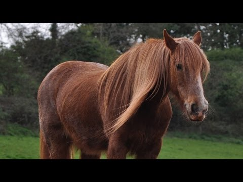 Fun Facts About Shire Horses #StarFam