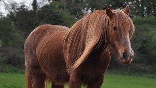 Fun Facts About Shire Horses #StarFam Mp3