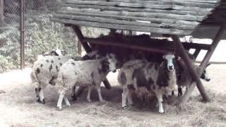 HD - Animals - Owce - Zwierzęta domowe