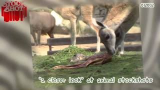 Animal Stockshots - geboorte guanaco baby birth