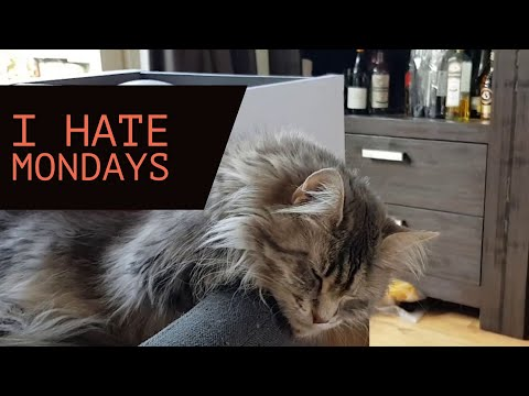 Maine coon hangover | i hate mondays