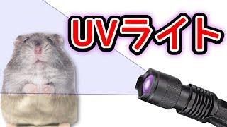 UVライト(ブラックライト)でペットなどの汚れが確認できる⁉   ハムち...