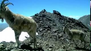 Алтайские животные в объективе фотоловушки