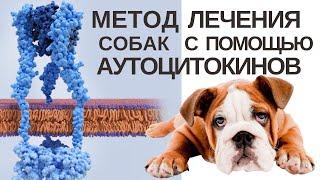 Методика лечения собак с помощью аутоцитокинов.