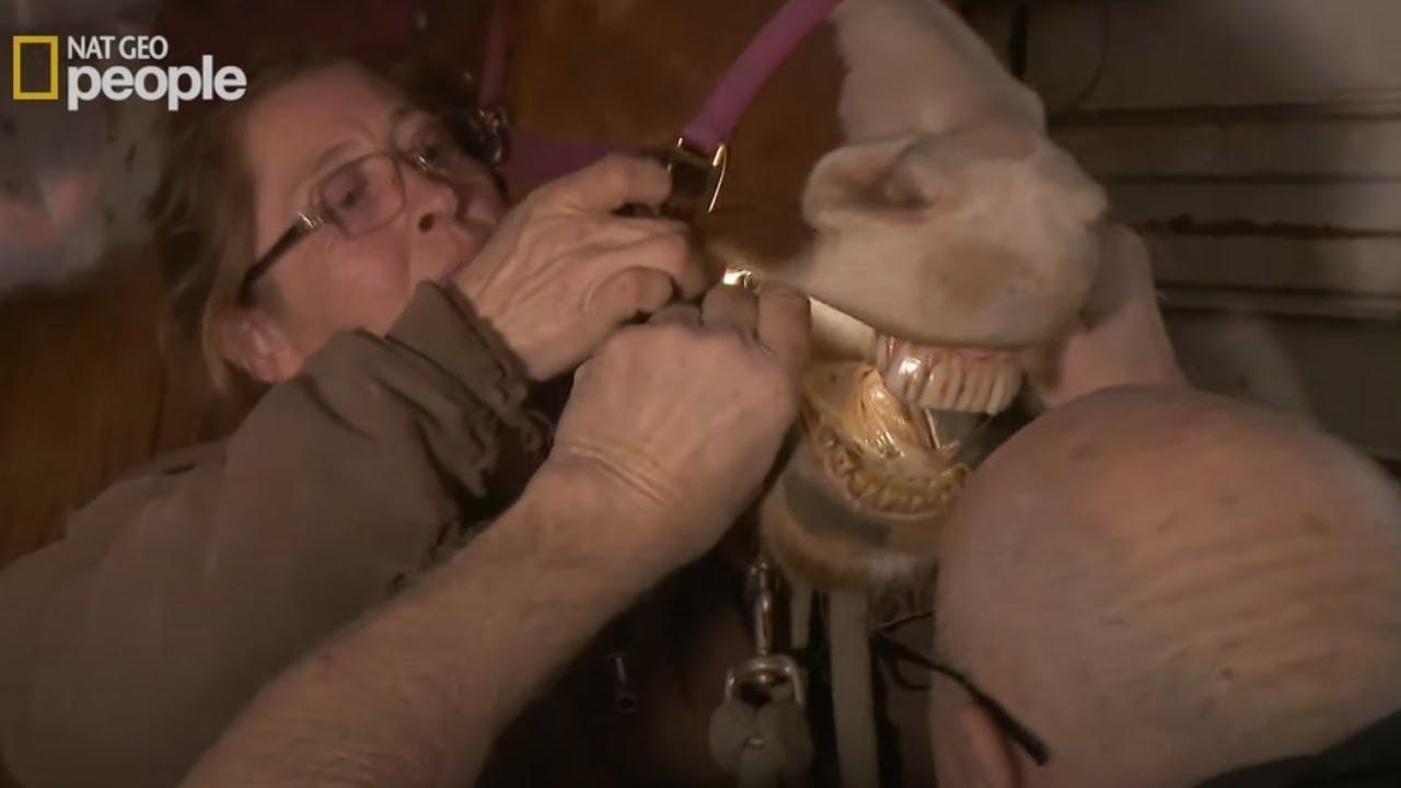 Dr Pol straszliwie się zmęczył próbując pomóc koniowi z przełykaniem [Niezwykły dr Pol]